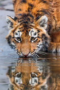 At the surface of the water... by Tambuko the Jaguar