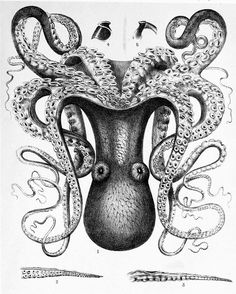 Black and white image of a big blue octopus to download Octopus Species, Octopus Images, Octopus Drawing, Octopus Illustration, Octopus Print, Octopus Facts, Theme Tattoo, Octopus Tattoos, Picture Boxes