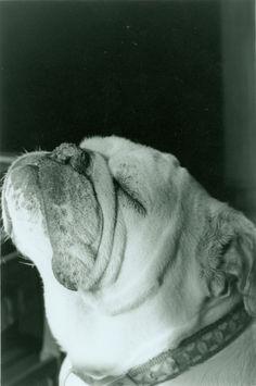 My english bulldog, Roxy <3