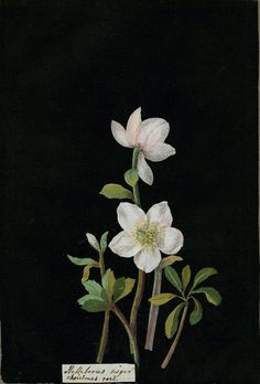 """Mary Delany's """"paper mosaick"""" botanicals. (Goes with painted eggs by house that Lars built, mar 28 2015)"""