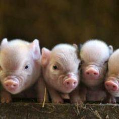 Little pig, little pig....