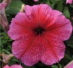 Petunia Seeds Daddy Strawberry Red Flower Seeds 200 Pelleted BULK SEEDS #PetuniaSeeds