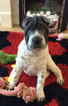 Dog Language, Shar Pei, Dog Rules, Cute Faces, Four Legged, Mans Best Friend, Puppy Love, Cute Dogs, Cute Animals