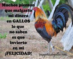 Frases Para Un Buen Gallero Con Gallos Finos Pollo Animal, Gallo Pinto, Game Fowl, Roosters, Hens, Poultry, Pictures, Animals, Block Prints