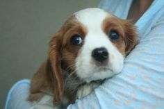 All the things we admire about the Smart Cavalier King Charles Spaniel Pup Spaniel Breeds, Spaniel Dog, King Charles Spaniel, Cavalier King Charles, Dog Competitions, Shepherd Puppies, Working Dogs, Australian Shepherd, Animals Beautiful