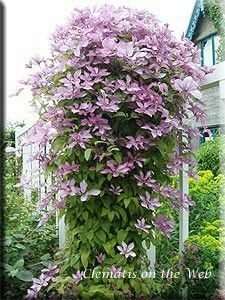 clematis montana 39 rubens 39 clematis are well known for. Black Bedroom Furniture Sets. Home Design Ideas