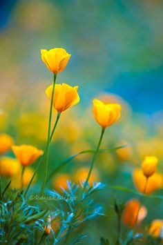 """blooms-and-shrooms: """"Poppies in the blue by kayaksailor """""""