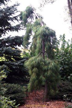 Pinus strobus 'Pendula'. wyjątkowo piękna i rzadko spotykana w polskich ogrodach sosna wejmutka 'Pendula'.