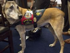 "Retired military dog Chef on Capitol Hill on July 23. Chef, a 12-year-old Belgian Malinois, served two tours in Afghanistan. - This article deals with the number of military dogs left behind as they are classified as ""equipment"". Our four-legged veterans deserve better as do the men and women who serve in the military."