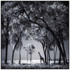 Magical...   Giraffe & Baby in Trees by Nick Brandt
