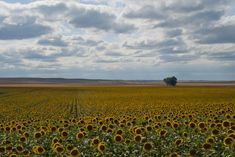 Last year, in 2017, North Dakota was second only to its southernly neighbor in sunflower production. These seemingly endless fields result in a ton of sunflower seeds, sunflower oil, and lots of other sunflower products.