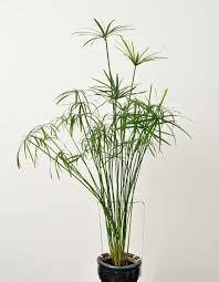 comment cultiver un papyrus en intérieur