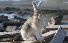 Photo of a snowshoe hare http://www.adfg.alaska.gov/index.cfm?adfg=snowshoehare.main