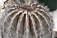 Types of Cactus: Details, Photos (Labelled!) & Varieties | Debra Lee Baldwin, Succulent Expert Opuntia Microdasys, Rat Tail Cactus, Easter Cactus, Cactus Types, Christmas Cactus, Cacti And Succulents, Garden, Flowers, Plants