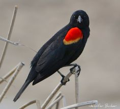 Red-winged Blackbird. USFWS Bear River Migratory Bird Refuge, Utah. Photo: Jennifer Bunker