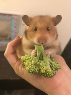 This sub is dedicated to hamsters and their humans. Hamster Pics, Baby Hamster, Hamster Care, Cute Little Animals, Cute Funny Animals, Funny Hamsters, Syrian Hamster, Hamster Eating, Cute Rats