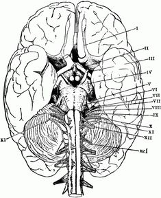 Brain Anatomy Coloring Pages | Printable Coloring Pages