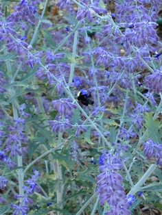 Russian sage with bees