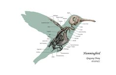 hummingbird anatomy - Google Search