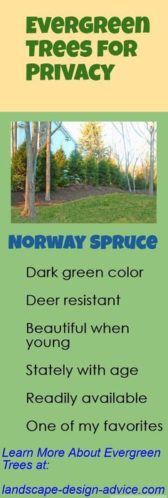 Landscape ideas for backyard privacy trees flower beds 37 super ideas Types Of Evergreen Trees, Evergreen Trees For Privacy, Evergreen Landscape, Privacy Trees, Lawn And Landscape, Evergreen Shrubs, Landscape Design, Evergreen Trees Landscaping, Privacy Shrubs