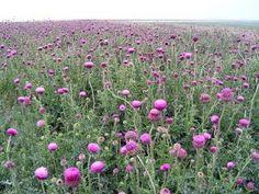 camp de ciulini Good To Know, Herbs, Travel, Medicine, Remedies, Plant, Viajes, Herb, Trips