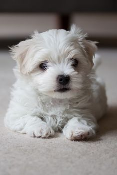 Maltese Terrier Puppy Waiting To Play Maltese Terrier Puppy Waiting To Play Maltese Dogs Maltese Dogs Care Maltese Puppy