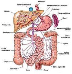 OrganosAbdominales