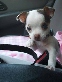 This 2 types of Chihuahua are very popular today. If you want to know the difference about apple head chihuahua and deer head chihuahua, read the short guide about them. Tiny Puppies, Cute Puppies, Cute Dogs, Cute Baby Animals, Funny Animals, Baby Chihuahua, Cute Dog Pictures, Dog Photos, Training Your Dog