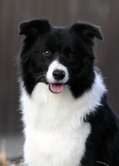 Winpara Border Collies - Puppies