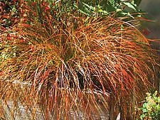 grass CAREX testacea 'Orange Sedge'  Orange highlights flicker on the leaves of this bronze-green sedge.  Forms a finely textured fountain-like mound that glows in the garden.