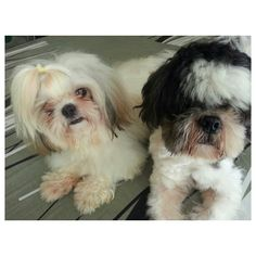 Luna amf Pepper シャワー終了!! finished #shower #shihtzu#dog#family#philippines#フィリピンシーズー#犬