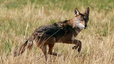 Coyote S, Coyote Hunting, Le Totem, Dog Died, Apex Predator, Two Dogs, Endangered Species, Outdoor Life, Black Bear