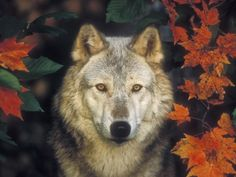 Gray Wolf and Autumn Maples, Minnesota