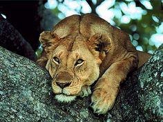 She-Lion