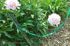 If peony flowers are left unsupported, they will fall over. Learn about peony supports, how to keep peonies from drooping, and other peony care tips. Peony Bush, Planting Peonies, Growing Peonies, Peony Support, Shade Perennials, Peonies And Hydrangeas, Peonies Garden, Planting Hydrangeas, Fragrant Flowers