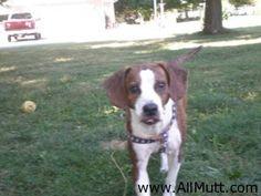 Beagle Whippet Mix Dog Beagle Mix, Separation Anxiety, Puppies Stuff, Fur Babies, Pets, Dog Breeds, Chloe, Animals, Animales