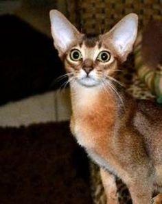 Abyssinian Cat Breeders Ny