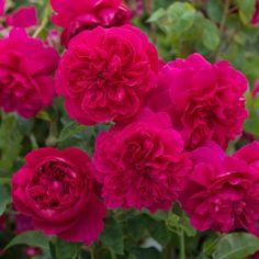 Thomas à Becket - David Austin Roses. Light red, informal rosettes. Old rose scent. Reliable and healthy. We were asked to name this rose for Canterbury Cathedral and were very pleased to do so.