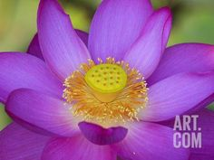 Lotus Bloom in the Summer, North Carolina, Usa Photographic Print by Joanne Wells at Art.com