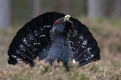 Western Capercaillie (Tetrao urogallus), also known as the Wood Grouse, Heather Cock or Capercaillie [Photo by Chris Sharratt.]