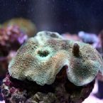 Take A Look At Our Great New Corals  Price For This Coral £25