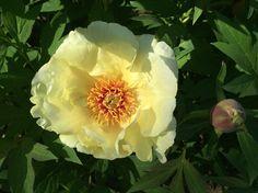 Garden yellow flower 6 Flower Photos, Yellow Flowers, My Photos, Bouquet, Garden, Plants, Gifts, Garten, Presents