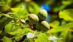 5 'Survival Insurance' Trees Every Homesteader Should Plant - Off The Grid News Smoothie Drinks, Smoothies, Off The Grid News, Honey Locust, Old Quotes, Gardening Tips, Alcoholic Drinks, Survival, Trees