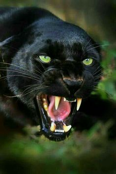 """B-) on Gorgeous black panther. In the words of Ogden Nash: """"If a panther calls, don't anther. In the words of Ogden Nash: """"If a panther calls, don't anther. Nature Animals, Animals And Pets, Cute Animals, Black Animals, Wild Animals, Angry Animals, Fierce Animals, Animals Images, Funny Animals"""
