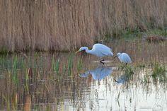 The Great Egret - Montagne et Nature