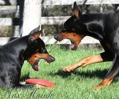 Max Hawk An ever so polite discussion on who owns the frizbee?? #Dobermanpinscher #Doberman