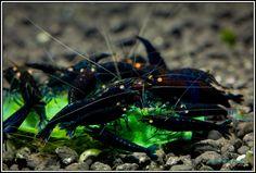 shrimps082-vi.jpg (1000×674)