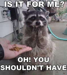 Funny pictures about Flattered Raccoon. Oh, and cool pics about Flattered Raccoon. Also, Flattered Raccoon photos. Animals And Pets, Baby Animals, Funny Animals, Cute Animals, Funny Raccoons, Wild Animals, Nature Animals, Baby Cats, Funny Animal Pictures
