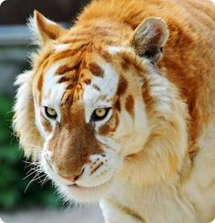 Golden tabby tiger - This is an extremely rare animal, living in captivity there are only around 30 in all.