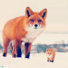 #лисы #fox